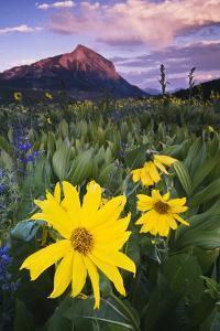 USA, Colorado, Mt. Crested Butte. Meadow Wildflowers at Sunset by Jaynes Gallery