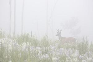 USA, Colorado, Pike National Forest. A Male Mule Deer in Foggy Meadow by Jaynes Gallery