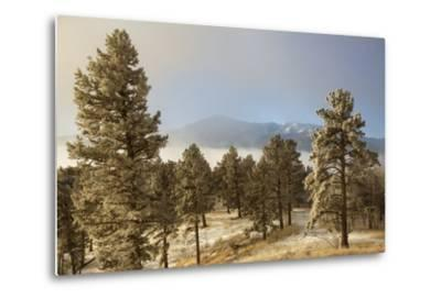 USA, Colorado, Pike National Forest. Frost on Ponderosa Pine Trees