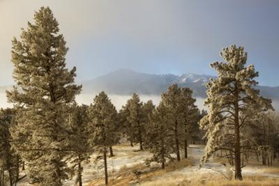 USA, Colorado, Pike National Forest. Frost on Ponderosa Pine Trees by Jaynes Gallery