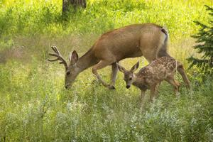 USA, Colorado, Pike National Forest. Mule deer young buck and fawn. by Jaynes Gallery