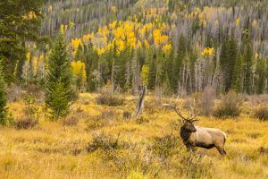 USA, Colorado, Rocky Mountain National Park. Bull elk in field. by Jaynes Gallery