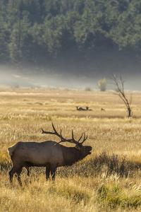 USA, Colorado, Rocky Mountain National Park. Male elk bugling. by Jaynes Gallery