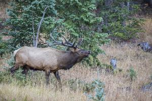 USA, Colorado, Rocky Mountain National Park. Male elk bugling. by Jaynes Gallery