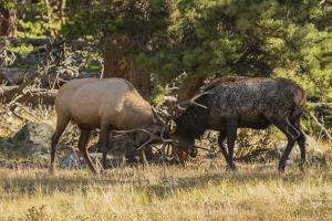 USA, Colorado, Rocky Mountain National Park. Male elks sparring. by Jaynes Gallery