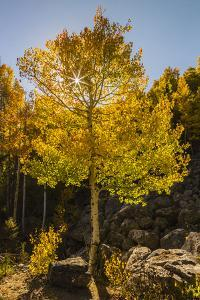 USA, Colorado, Rocky Mountain National Park. Sunburst on aspen tree. by Jaynes Gallery