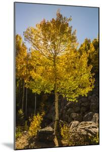 USA, Colorado, Rocky Mountain National Park. Sunburst on aspen tree. by Jaynes Gallery