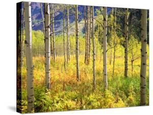 USA, Colorado, Rocky Mountains, Aspen Trees in Autumn in the Rockies by Jaynes Gallery