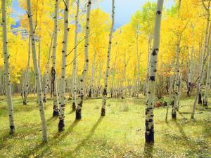 USA, Colorado, Rocky Mountains. Fall Colors of Aspen Trees by Jaynes Gallery