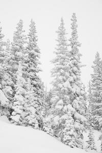 USA, Colorado, San Isabel National Forest. Heavy snowfall dresses forest trees. by Jaynes Gallery