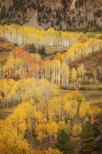 USA, Colorado, San Juan Mountains. Autumn-colored aspen forest on mountain slope. by Jaynes Gallery