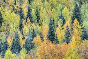 USA, Colorado, San Juan Mountains. Forest of aspens and spruce trees in autumn. by Jaynes Gallery