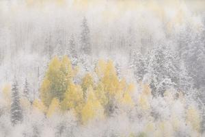 USA, Colorado, San Juan Mountains. Freshly falling snow on aspen forest. by Jaynes Gallery