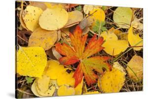 USA, Colorado, San Juan Mountains. Geranium and aspen leaves. by Jaynes Gallery