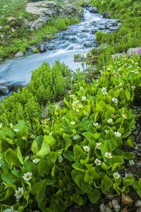 USA, Colorado, San Juan Mountains. Stream Cascade and Spring Marigolds by Jaynes Gallery