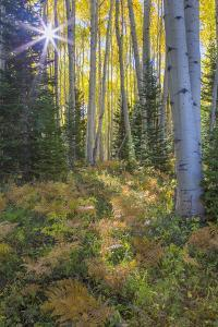 USA, Colorado. Scenic of Aspen Forest by Jaynes Gallery