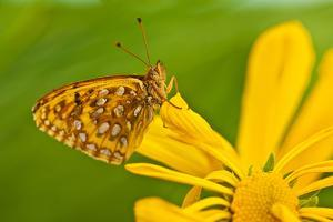 USA, Colorado. Skipper Butterfly on Sunflower by Jaynes Gallery
