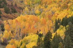 USA, Colorado, Uncompahgre National Forest. Mountain aspen forest in autumn. by Jaynes Gallery