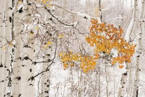 USA, Colorado, White River National Forest. Snow coats aspen trees in winter. by Jaynes Gallery