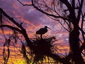 USA, Florida. Ibis on Nest at Sunset by Jaynes Gallery