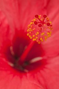 USA, Hawaii, Kauai. Detail of hibiscus flower. by Jaynes Gallery