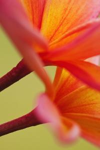 USA, Hawaii, Kauai of flowering Plumeria flowers. by Jaynes Gallery