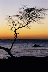 USA, Hawaii. Tree Silhouette at Twilight by Jaynes Gallery