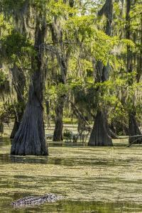 USA, Louisiana, Atchafalaya National Heritage Area. Alligator in Lake Martin. by Jaynes Gallery