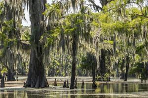 USA, Louisiana, Atchafalaya National Heritage Area. Moss-covered tupelo trees in Lake Martin. by Jaynes Gallery