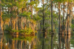 USA, Louisiana, Atchafalaya National Wildlife Refuge. Sunrise on cypress trees and Spanish moss. by Jaynes Gallery