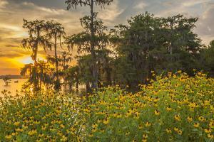 USA, Louisiana, Lake Martin. Cypress trees and coneflowers at sunset. by Jaynes Gallery