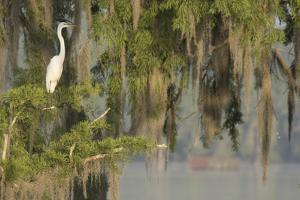 USA, Louisiana, Lake Martin. Foggy swamp sunrise with great egret in tree. by Jaynes Gallery