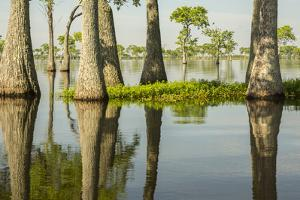 USA, Louisiana, Miller's Lake. Tupelo trees in lake. by Jaynes Gallery