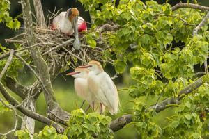 USA, Louisiana, Vermilion Parish. Cattle egret pair and nesting roseate spoonbill. by Jaynes Gallery