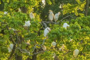 USA, Louisiana, Vermilion Parish. Cattle egret rookery. by Jaynes Gallery