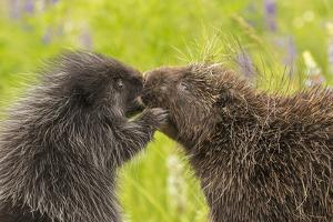 USA, Minnesota, Minnesota Wildlife Connection. Captive adult and young porcupines greeting. by Jaynes Gallery