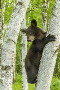 USA, Minnesota, Minnesota Wildlife Connection. Captive black bear cub climbing tree. by Jaynes Gallery