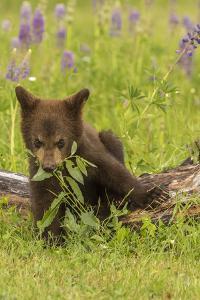 USA, Minnesota, Minnesota Wildlife Connection. Captive black bear cub eating plant. by Jaynes Gallery
