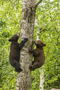 USA, Minnesota, Minnesota Wildlife Connection. Captive black bear cubs climbing tree. by Jaynes Gallery