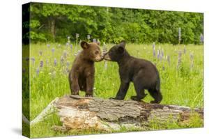 USA, Minnesota, Minnesota Wildlife Connection. Captive black bear cubs on log. by Jaynes Gallery