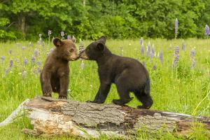 USA, Minnesota, Minnesota Wildlife Connection. Captive black bear cubs on log. by Jaynes Gallery