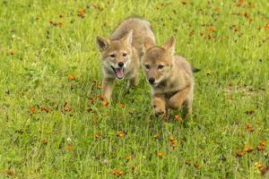 USA, Minnesota, Minnesota Wildlife Connection. Captive coyote pups running in hawkweed. by Jaynes Gallery