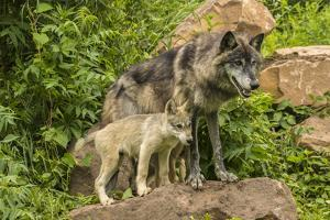 USA, Minnesota, Minnesota Wildlife Connection. Captive gray wolf adult and pups. by Jaynes Gallery