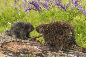 USA, Minnesota, Minnesota Wildlife Connection. Captive porcupine adult and young on log. by Jaynes Gallery