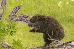 USA, Minnesota, Minnesota Wildlife Connection. Captive porcupine eating lupine flowers. by Jaynes Gallery