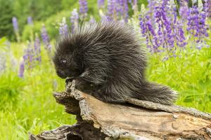 USA, Minnesota, Minnesota Wildlife Connection. captive, young porcupine & lupine by Jaynes Gallery