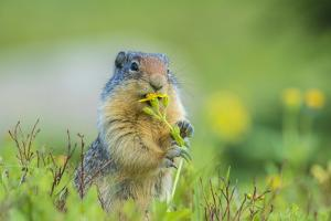 USA, Montana, Glacier National Park. Columbian ground squirrel eating flower. by Jaynes Gallery