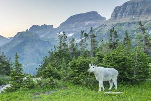 USA, Montana, Glacier National Park. Mountain goat in meadow. by Jaynes Gallery