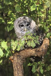 USA, Montana, Kalispell. Barred Owl in Tree at Triple D Game Farm by Jaynes Gallery