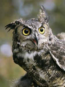 USA, Montana, Kalispell. Great Horned Owl at Triple D Game Farm by Jaynes Gallery